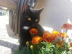 Yuki, chat Européen