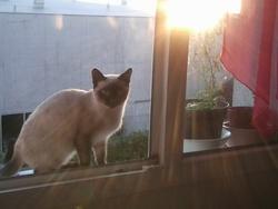 Yuki, chat Siamois