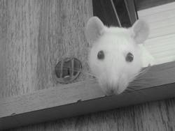 Yuki, rongeur Rat