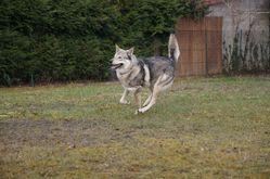 Yuki, chien Chien-loup de Saarloos