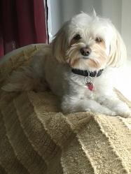 Yuki, chien Bichon maltais