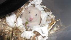 Yukio, rongeur Hamster