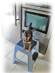Yuko, chien Pinscher