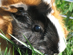 Yuma, rongeur Cochon d'Inde