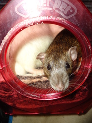Yumé, rongeur Rat