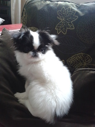 Yume, chien Épagneul japonais
