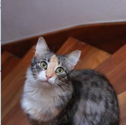 Yume, chat Norvégien