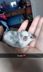 Yume, rongeur Souris
