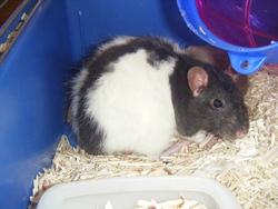 Yumi, rongeur Rat