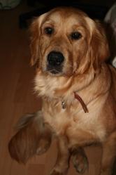 Yumi, chien Golden Retriever