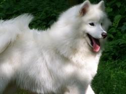 Yumi, chien Samoyède