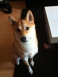 Yumi, chien Shiba Inu