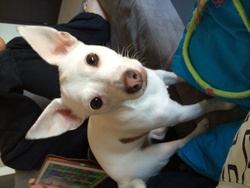Yumi, chien Jack Russell Terrier