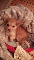 Yumi, chien Chihuahua