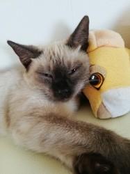 Yumi, chat Siamois