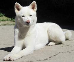 Yumie, chien Akita Inu