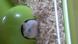 Yumy, rongeur Hamster