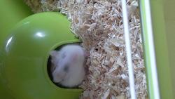 Yumy, rongeur Hamster