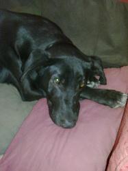 Yuna, chien Labrador Retriever