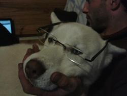 Yuna, chien Husky sibérien