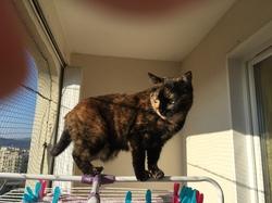 Yuna écaille De Tortue, chat Européen
