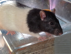 Yvick, rongeur Rat
