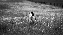 Zéphie, chien Border Collie