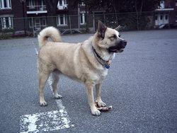 Zac, chien Akita américain