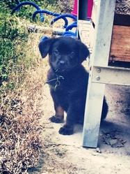 Zac, chien Beauceron