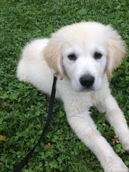Zack, chien Golden Retriever
