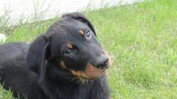 Zack, chien Beauceron