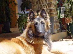 Zack, chien Berger belge