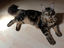 Zadig, chat Maine Coon