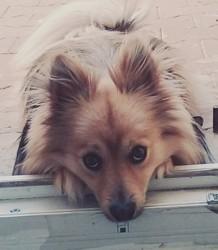 Zaël, chien Spitz japonais