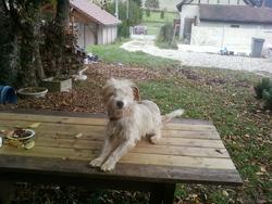 Zafira, chien