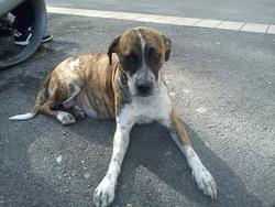 Zahia, chien Boxer