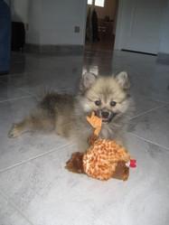 Zahia, chien Spitz allemand
