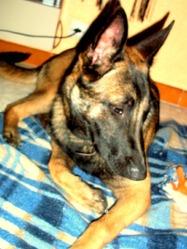 Zaho, chien Berger belge