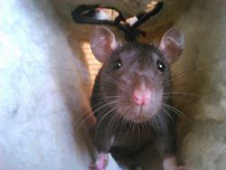 Zaho, rongeur Rat