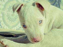 Zaim, chien American Staffordshire Terrier