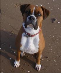 Zain, chien Boxer