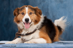 Zak, chien Border Collie