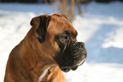 Zaka, chien Boxer