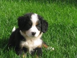 Zakk, chien Bouvier bernois