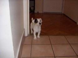 Zala, chien Beagle
