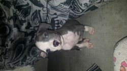 Zamal, chien American Staffordshire Terrier