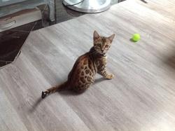 Zané , chat Bengal