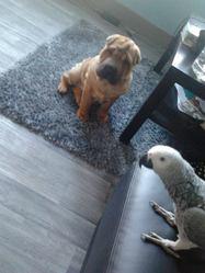 Zara, chien Shar Pei