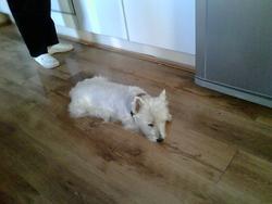 Zara, chien West Highland White Terrier