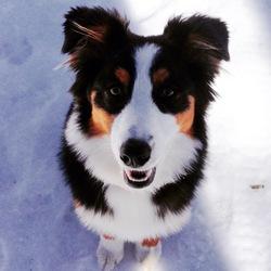 Zara, chien Berger australien